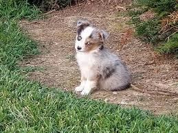 6 month old mini australian shepherd lazy k farms home facebook