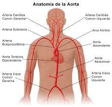 anatomia aorta