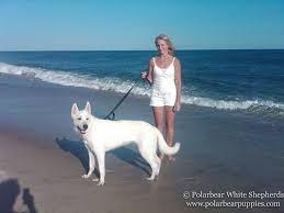 belgian sheepdog breeders in texas white german shepherd dogs u0026 puppies polarbear