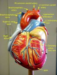Anatomy And Physiology Of Lungs Respiratory System Anatomy Larynx To Lung Model Video