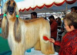 afghan hound long haired dogs grooming tips for the afghan hound mjstargates com