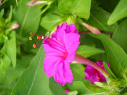 What Is Flower Food by Mirabilis Jalapa Wikipedia