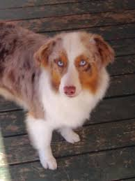 australian shepherd queen creek az australian shepherd dog breeders