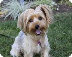 australian shepherd yorkshire terrier mix shiloh adopted dog newport beach ca yorkie yorkshire