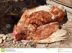 <b>Doença</b> das <b>aves domésticas</b>