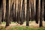 Black Trees In A Burnt Forest Royalty Free Stock Photo, Pictures ...