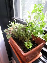 growing plants in windowsills edible plants for windowsill gardens