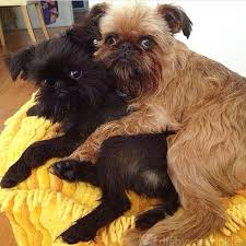 affenpinscher brown it u0027s not what it looks like dogs caught in the act