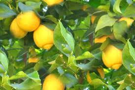 الليمون الخلايا السرطانية
