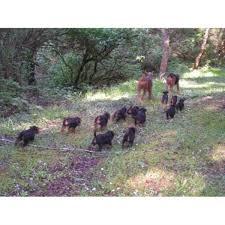 bluetick coonhound oregon akc alsea u0027oorangairedales airedale terrier breeder in waldport