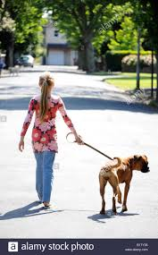 boxer dog uk photograph of a young walking the family boxer dog on a sunny