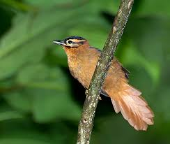 Black-capped foliage-gleaner
