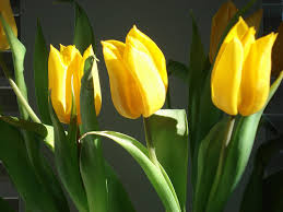 image of tulip flowers, borrowed from t3.gstatic.com