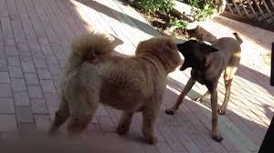belgian sheepdog chow mix chow chow vs malinois youtube
