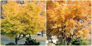 Fall Landscaping Ideas by Outdoor U0026 Garden Unique Coral Bark Maple For Home Landscaping Ideas