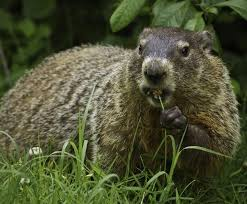 How Do You Get Rid Of Possums In The Backyard by How To Get Rid Of Groundhogs Woodchuck Pest Control The Old