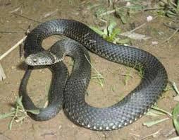 Chuyện rắn độc đêm đêm bò về bàn thờ người vợ