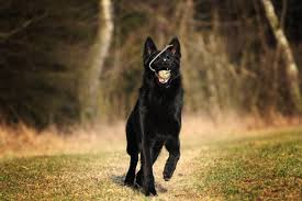 belgian sheepdog breeders in michigan 7 things you didn u0027t know about the black german shepherd animalso