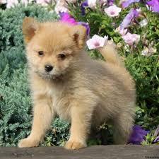 australian shepherd x pomeranian for sale pomeranian mix puppies for sale in pa