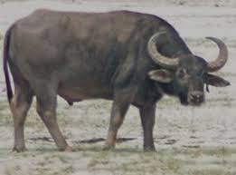 Tej Kumar Shrestha | The Rufford Small Grants for Nature Conservation - wild%20water%20buffalo%201