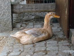 Saxony duck