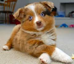 australian shepherd qualities australian shepherd dog breed information pictures u0026 more