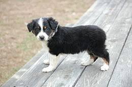 6 month old mini australian shepherd australian shepherd wikipedia