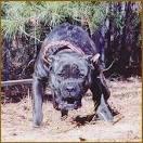 presa canario cane corso