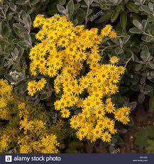 Tree With Bright Yellow Flowers - senecio u0027sunshine