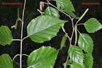 Image result for Betula papyrifera