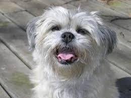 oldest affenpinscher 9 best affenpinscher images on pinterest awesome dog breeds and