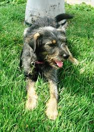 australian shepherd yorkshire terrier mix local pet adoption page 8 31 12