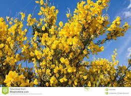 Flowers Plants by Broom In Bloom Cytisus Scoparius Flowers Plants Botanic Stock