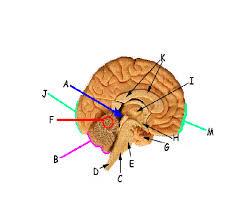 Sheep Brain Anatomy Game Human Anatomy Brain Anatomy Quiz Users Will Gain An Appreciation