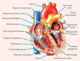Один укол восстановит работу сердца после инфаркта