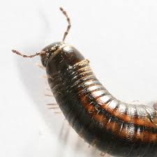 file myriapoda millipede tausendfuesser2 jpg wikimedia commons