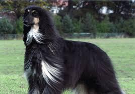 belgian sheepdog chow mix easiest to train dog breeds nextdogbreed com