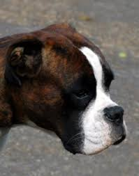 boxer dog uk boxer dog picture image