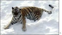 Neve pode provocar extinção de tigres siberianos   BBC Brasil ...