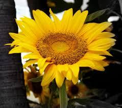 Surya Kanthi flower - India Travel Forum | IndiaMike. - surya-kanthi-flower