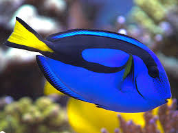 Blue Hippo Tang avec du hic...! Quoi faire?!  Images?q=tbn:ANd9GcRiWJdqk8sVuj4bSwx_hwcDHw62OhgGY0Cw3S1TXQl2KaDaVcrmmA