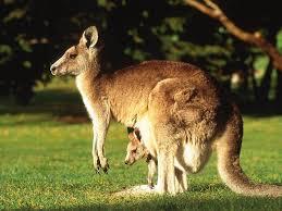 Sự tấn công của những con kangaroo