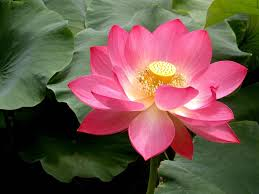Research may help scientists learn anti-aging secrets of sacred lotus