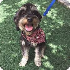 australian shepherd yorkshire terrier mix thousand oaks ca yorkie yorkshire terrier mix meet jack a