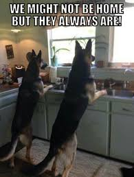 images about German Shepherds and Rottweilers    My favorite