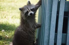 How Do You Get Rid Of Possums In The Backyard by Raccoons How To Identify And Get Rid Of Raccoons In The Garden