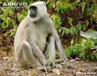 Image result for Semnopithecus hypoleucos