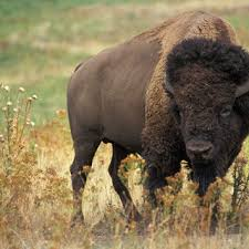 The origins of North America     s bison      invasion