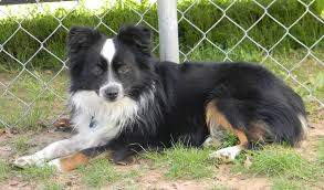 australian shepherd x pomeranian for sale border aussie designer dogs dog breed standards