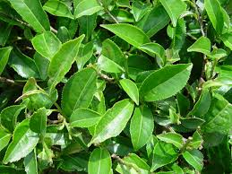 Flowers Plants by Camellia Sinensis Wikipedia